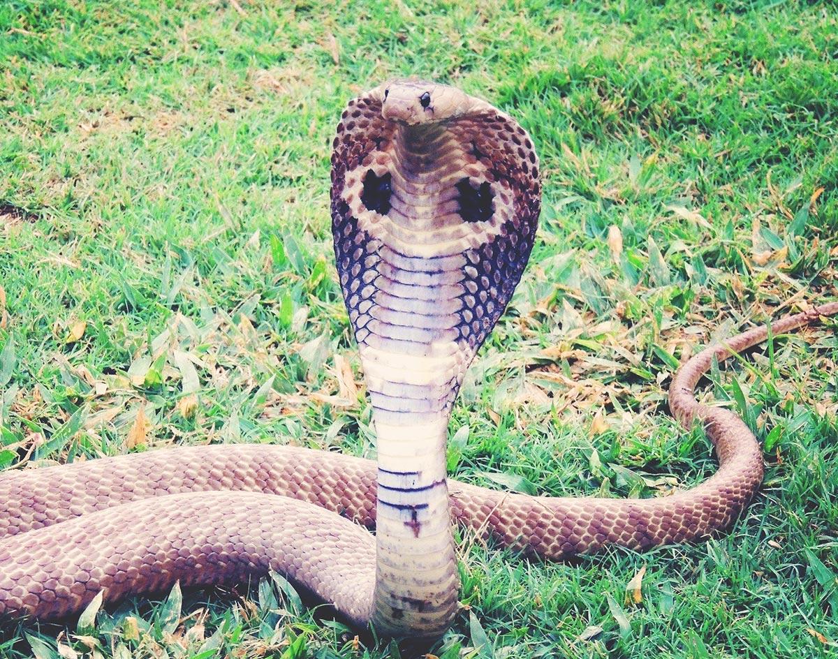 Welp, The Grand Prairie Venomous Cobra Still On The Loose